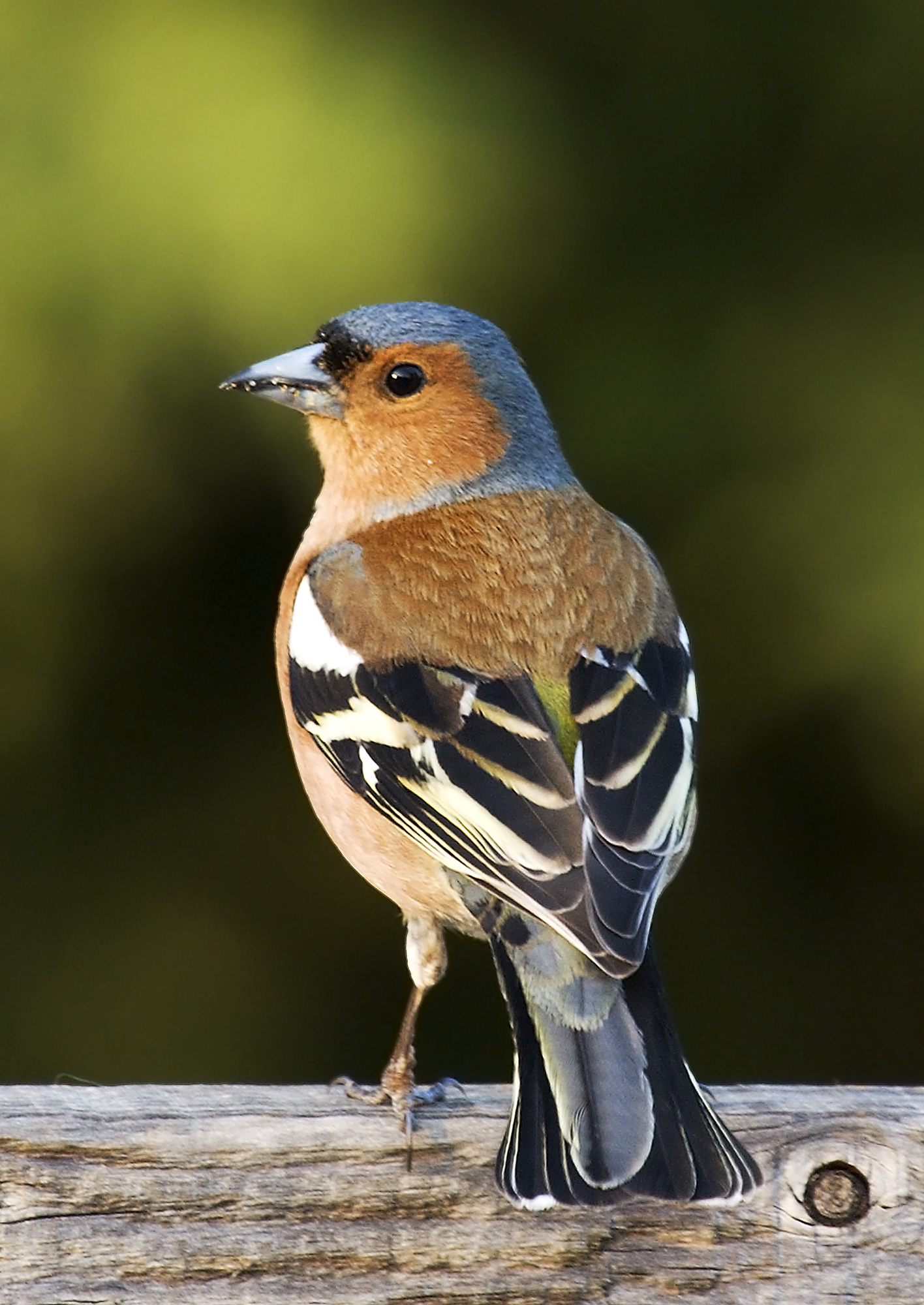 ({{Information |Description=Fringilla coelebs (chaffinch), male |Source=Own photo |Date= 21 April 2007 |Author=Self: Commons user MichaelMaggs Edited by: Arad |other_versions=[[Image:Fringilla coelebs (chaffinch), male.j)